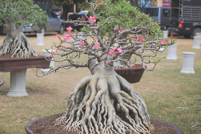 Fermé vers le haut du grand arbre d'obesum d'Adenium dans la foire de concours d'usine de Nakornpratom, la Thaïlande photo libre de droits