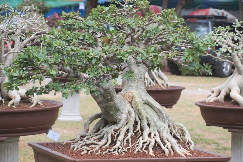 Fermé vers le haut du grand arbre d'obesum d'Adenium dans la foire de concours d'usine de Nakornpratom, la Thaïlande photos stock