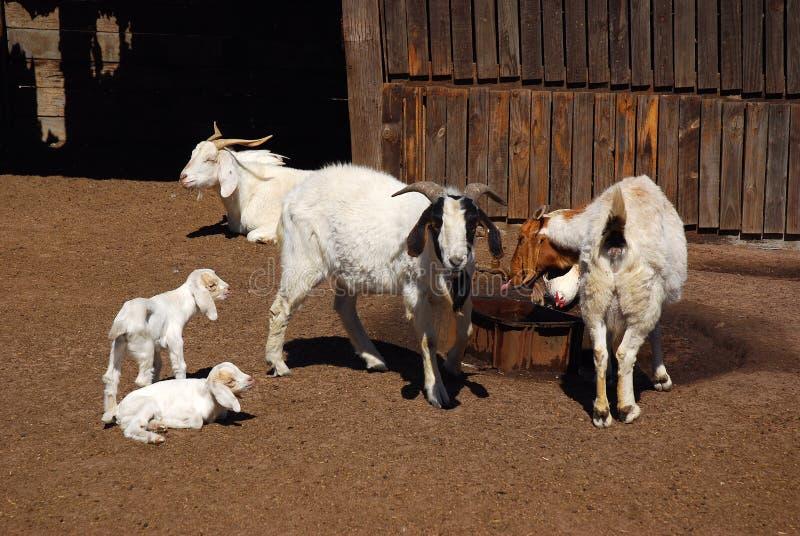 Ferme africaine de chèvre photographie stock