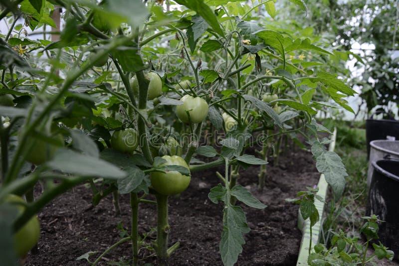 Ferme agricole de tomate en serre chaude moderne avec les tomates vertes photographie stock libre de droits