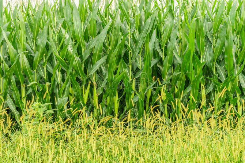 Ferme amish de pays, mur de maïs, agriculture de champ à Lancaster, PA image libre de droits