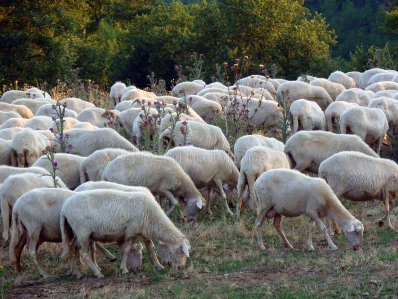 Ferme biologique de moutons près de Sorano, Italie photo libre de droits