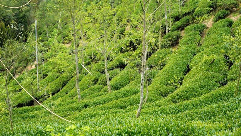 Ferme célèbre de thé de Taiwan photographie stock libre de droits