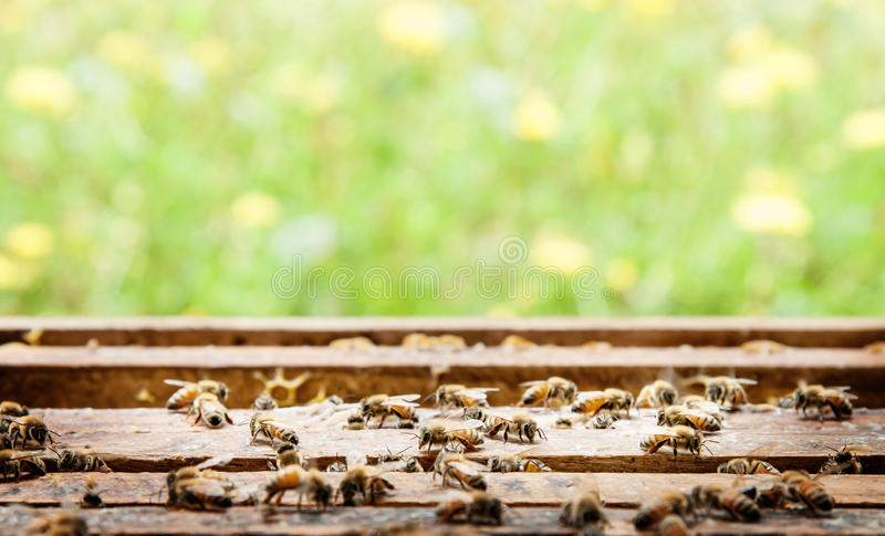 Ferme d'abeille à un arrière-plan de boîte et de fleur photo libre de droits