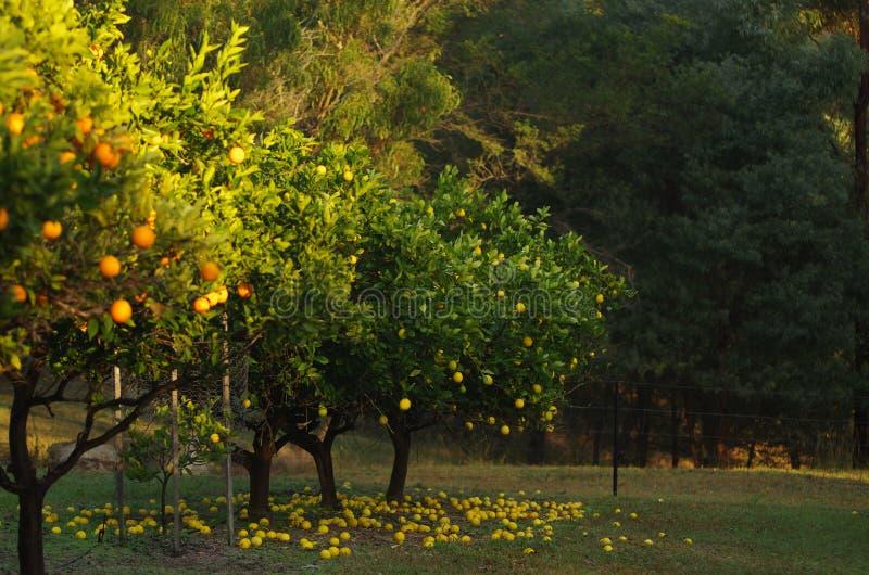 Ferme d'arbre orange photos stock