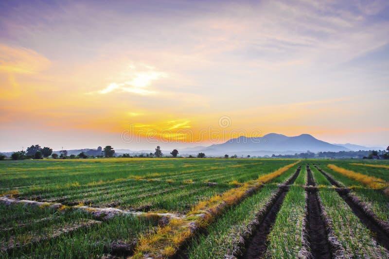 Ferme d'oignon dans la campagne au coucher du soleil photographie stock libre de droits