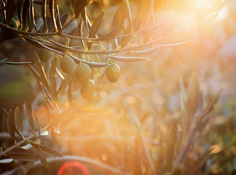 Ferme d'oliviers photographie stock libre de droits