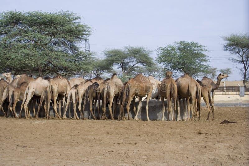 Ferme de chameau dans l'Inde photo stock