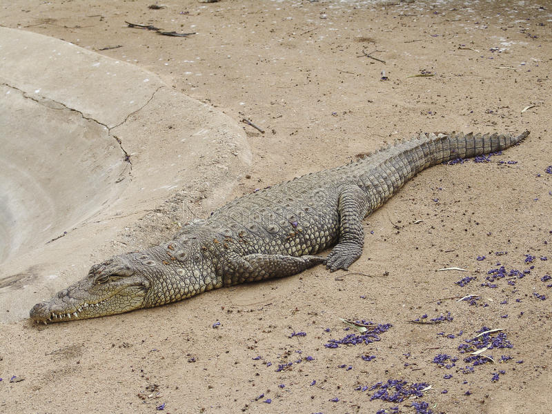 Ferme de crocodile photographie stock