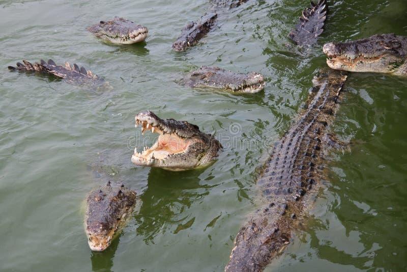 Ferme de crocodile photographie stock libre de droits