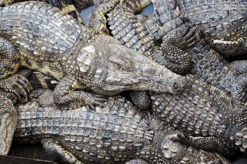 Ferme de crocodile photos libres de droits