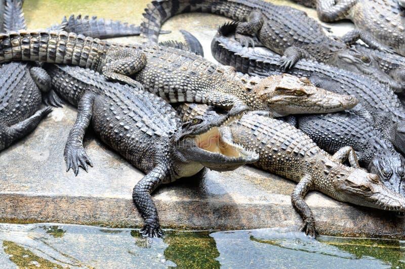 Ferme de crocodile photo libre de droits