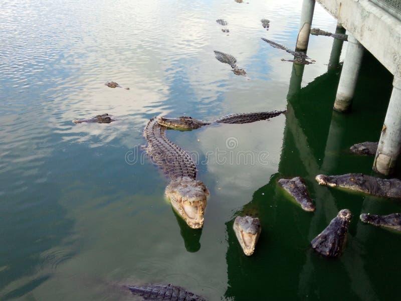 Ferme de crocodile image stock