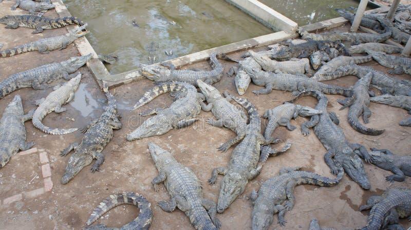 Ferme de crocodile dans Siem Reap. Le Cambodge. images libres de droits