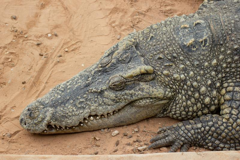 Ferme de crocodile de plan rapproché en Thaïlande images libres de droits