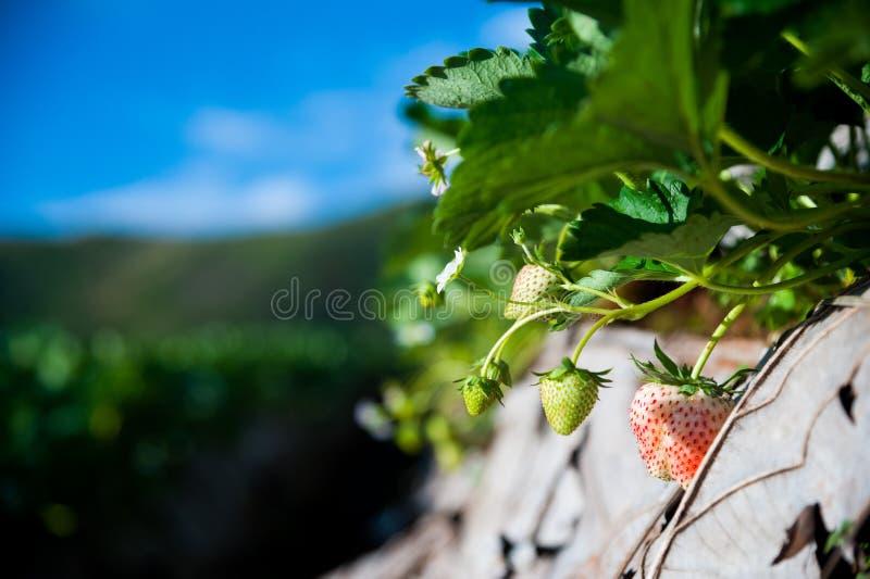 Ferme de fraise photographie stock