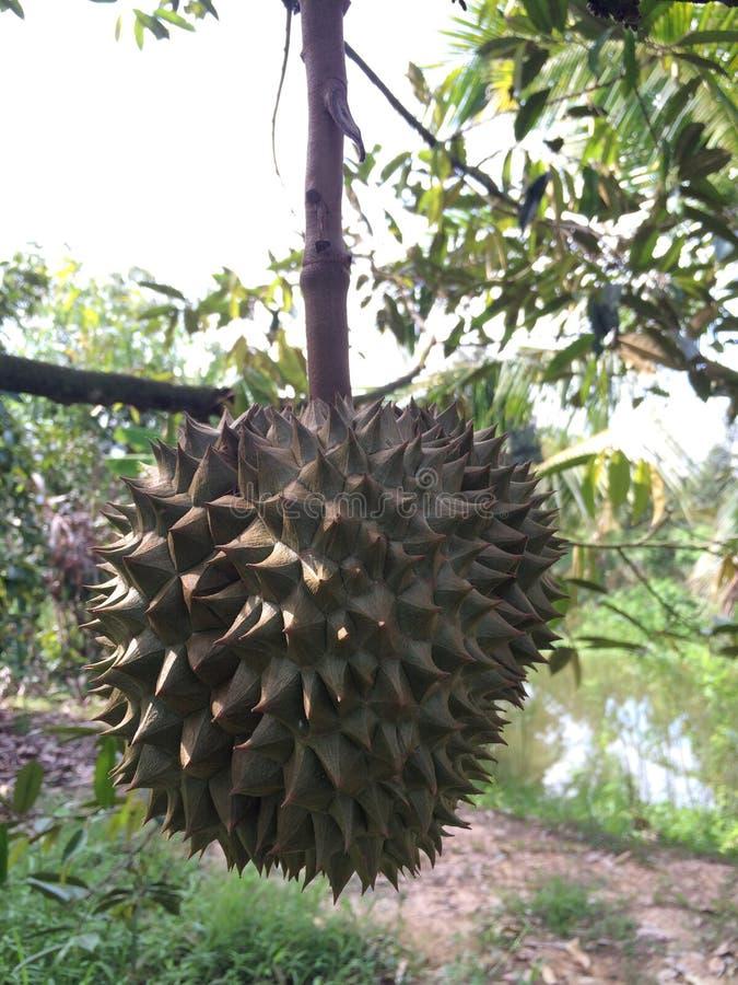 ferme de fruit de durian photo libre de droits