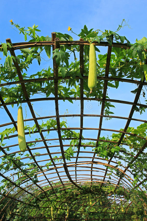 Download Ferme De Luffa Dehors En Thaïlande Photo stock - Image du végétarien, jardinage: 87707006