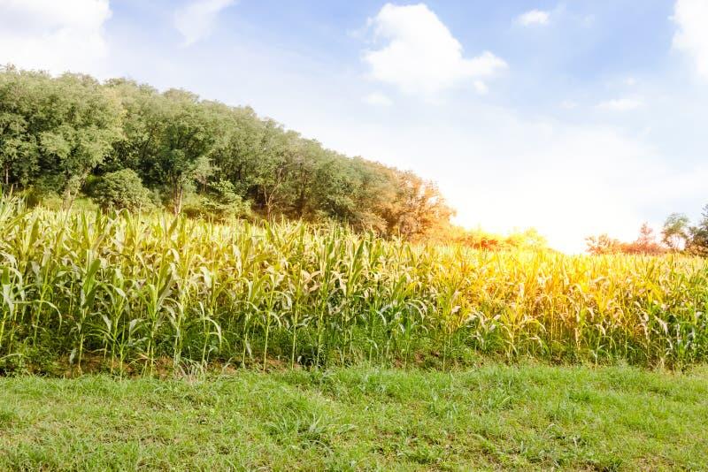 Ferme de maïs avec le ciel bleu images stock