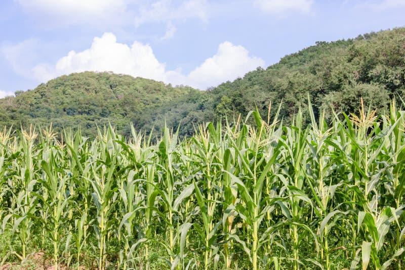 Ferme de maïs avec le ciel bleu photo libre de droits