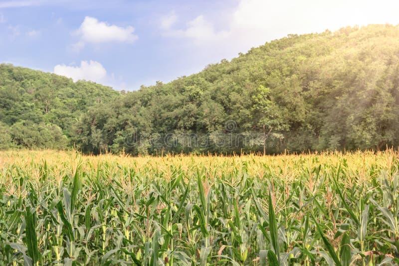 Ferme de maïs avec le ciel bleu image libre de droits