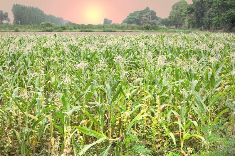 Ferme de maïs avec le coucher du soleil photo stock
