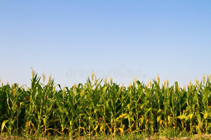 Ferme de maïs contre le ciel bleu image libre de droits