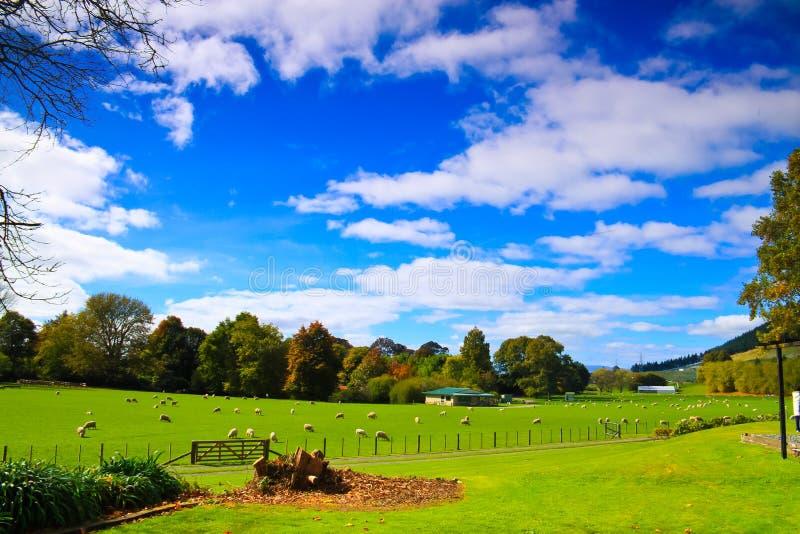 Ferme de moutons en Nouvelle Zélande image libre de droits
