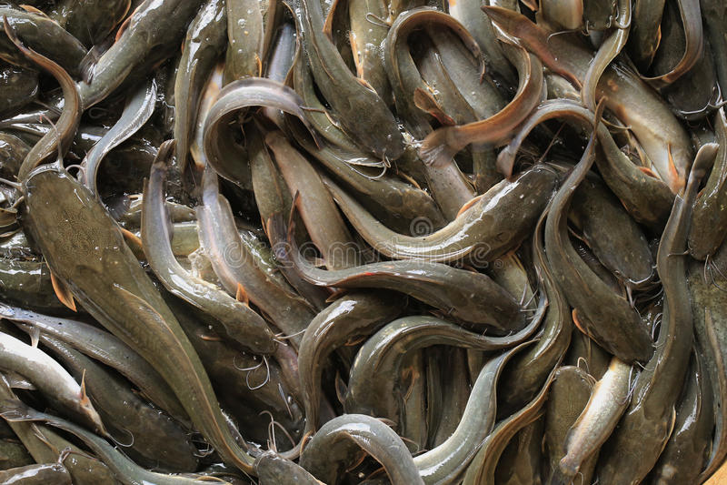 Ferme de poisson-chat image libre de droits