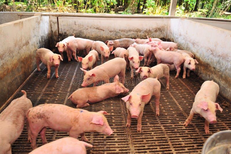 Ferme de porc photo libre de droits