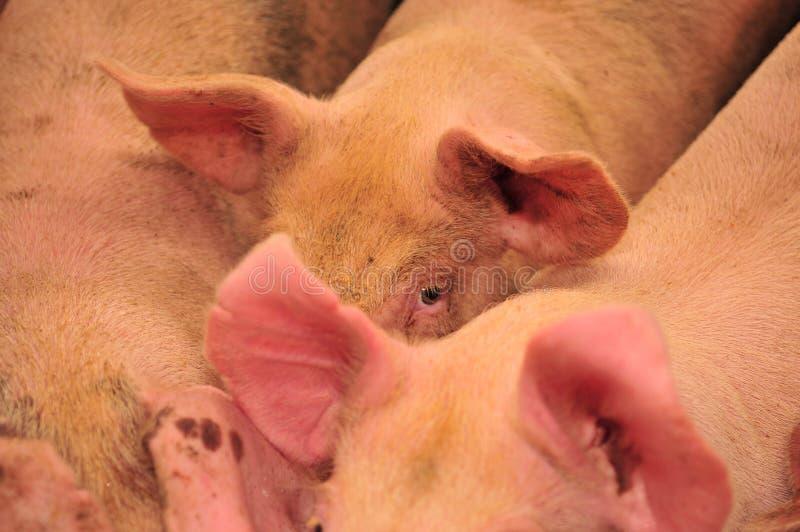 Ferme de porc photographie stock