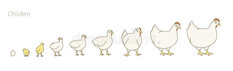 Ferme de poulet Étapes d'ensemble de croissance de volaille Volaille de multiplication Production de poule Augmenter de poulet Le illustration libre de droits