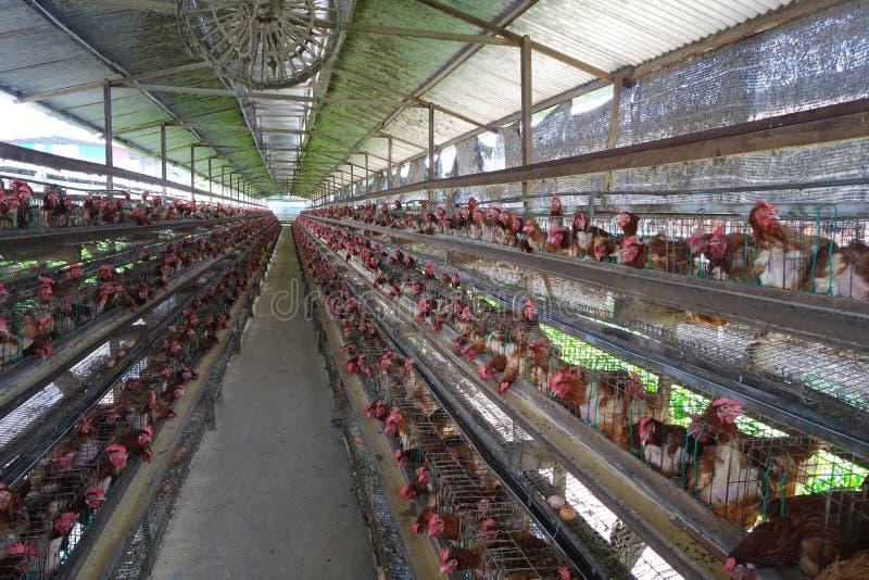 Ferme de poulet de l'Asie photographie stock