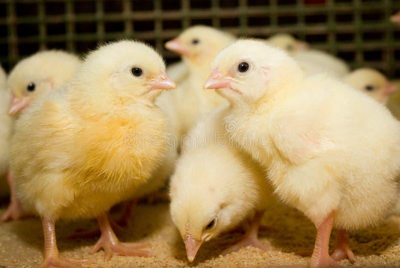 Ferme de poulet moderne, production de la viande blanche images libres de droits