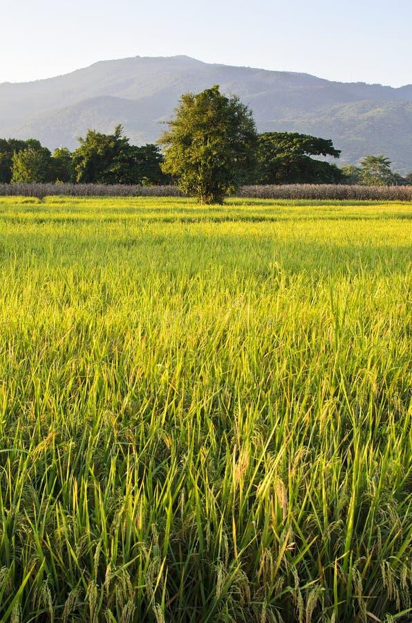 Ferme de riz avec le fond de montagne photo libre de droits