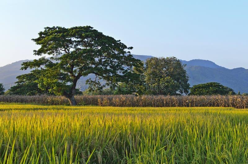 Ferme de riz avec le fond de montagne (Lanscape) photographie stock libre de droits