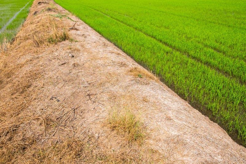 Ferme de riz de jasmin de paddy images libres de droits