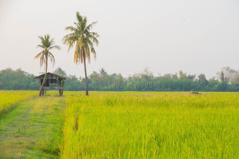 Ferme de riz de jasmin de paddy en Thaïlande photographie stock
