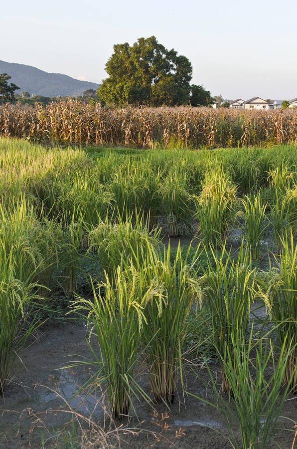 Ferme de riz et de maïs photographie stock