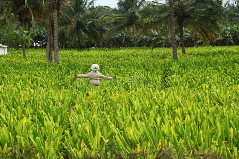Ferme de safran des indes avec un épouvantail riant photographie stock libre de droits
