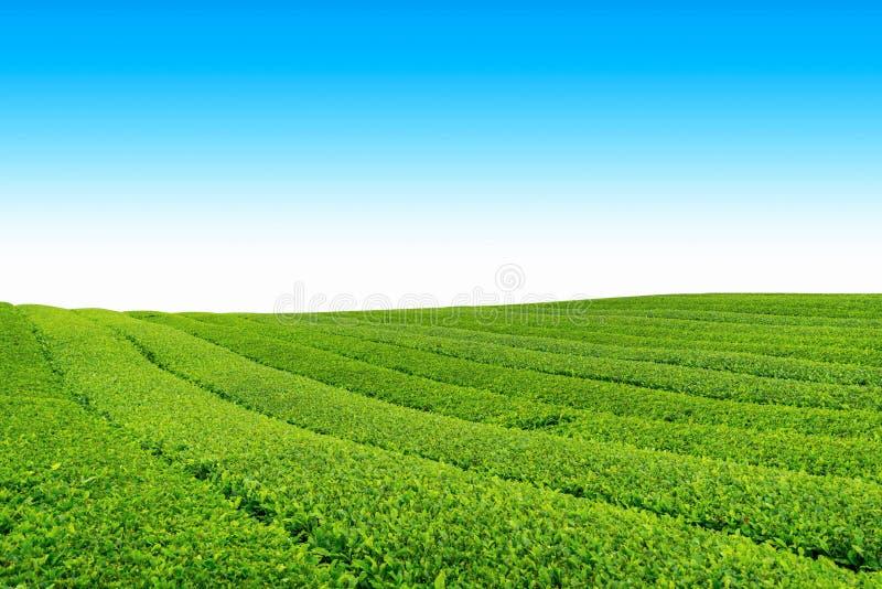 Ferme de thé photos libres de droits