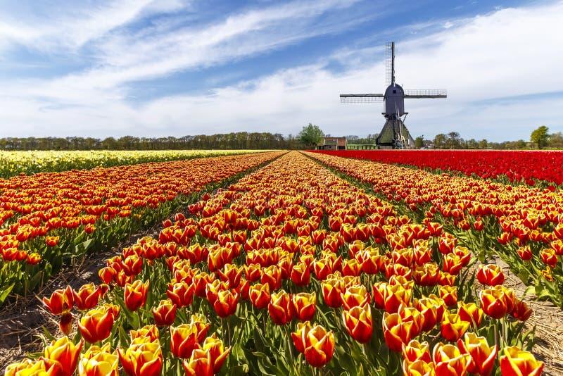 Ferme de tulipe de couleur d'arc-en-ciel photo libre de droits