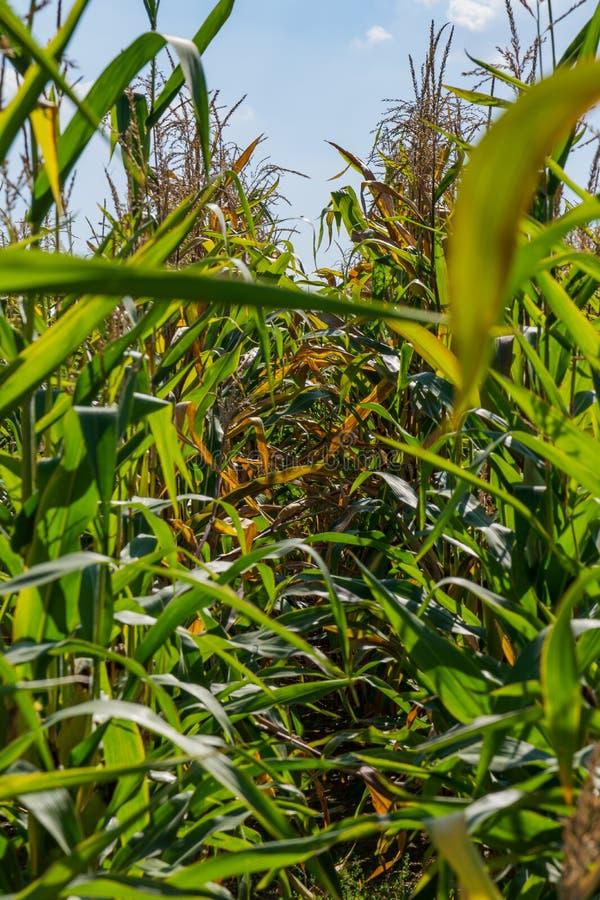 Ferme dense de Bush de tiges de maïs élevant lumineux vert-bleu de feuilles photographie stock