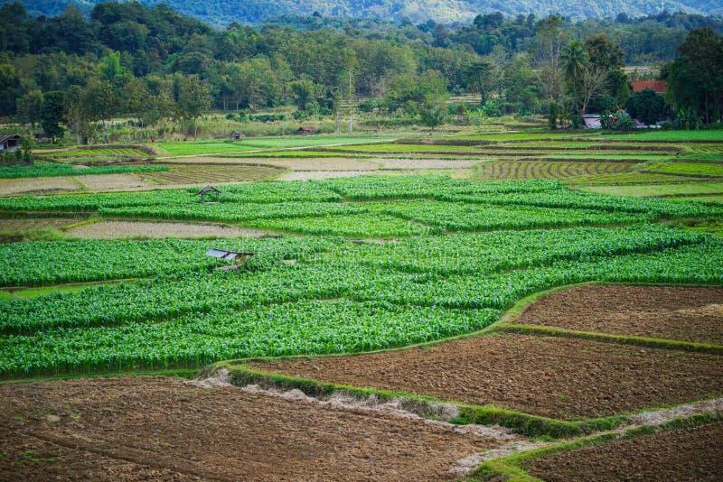 Ferme et rizière de maïs photographie stock libre de droits