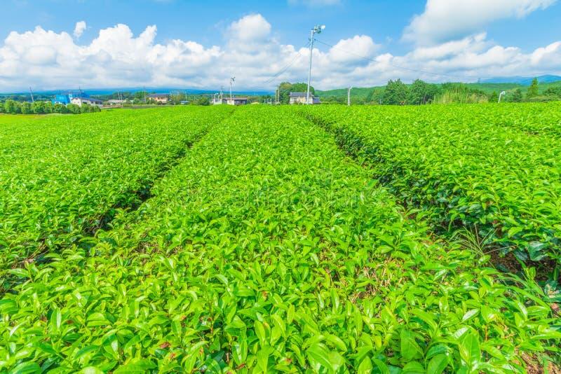 Ferme fraîche de thé vert au printemps, rangée de plantation de thé vert japonaise de plantations de thé avec le fond de ciel ble images libres de droits