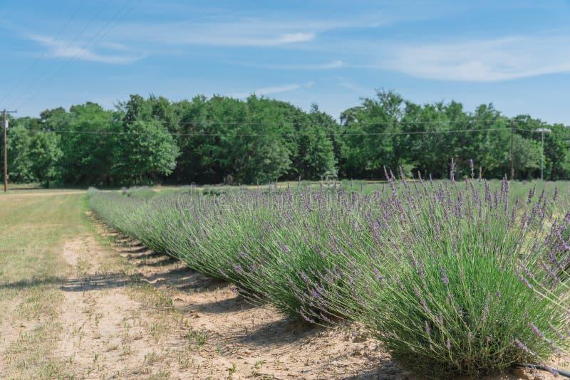 Ferme locale de lavande fleurissant à Gainesville, le Texas, Etats-Unis image stock