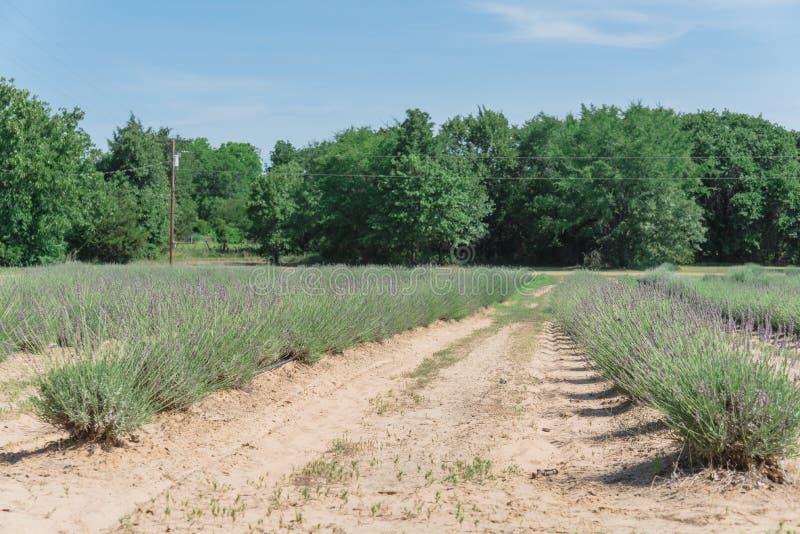 Ferme locale de lavande fleurissant à Gainesville, le Texas, Etats-Unis image libre de droits