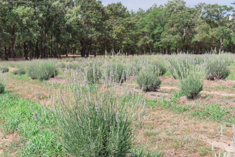 Ferme locale de lavande fleurissant à Gainesville, le Texas, Etats-Unis images stock
