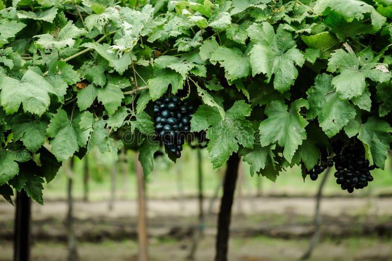 Ferme, vignoble, Thaïlande, agriculture, raisin photo stock