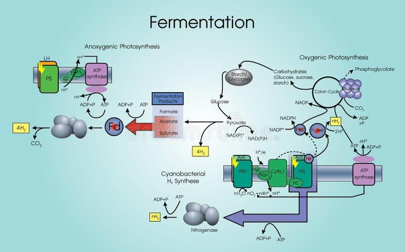 fermentation ilustração royalty free